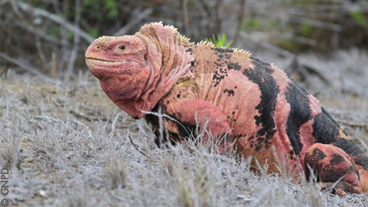 Pink Iguanas Are Only Found Live In The Galapagos Islands